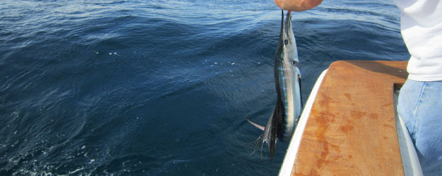 Sailfishing Stuart Florida