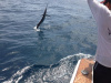 June 2013 Sailfish